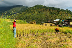 Wangdue Phodrang, Trongsa, Bhutan - September 15, 2016: Bhutanese farmer holding a sickle in a rice field at Wangdue Phodrang. Royalty Free Stock Images