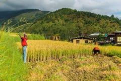Wangdue Phodrang, Trongsa, Bhutan - September 15, 2016: Bhutanesisk bonde som rymmer en skära i en risfält på Wangdue Phodrang Royaltyfria Bilder
