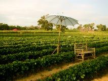 Wangnamkhiao的,泰国草莓农场 免版税库存照片