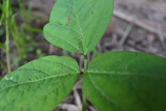 Wangsaphung - janvier 2017 - symptôme des feuilles de soja Images stock