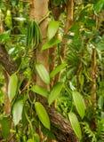Waniliowa roślina i zielony strąk Fotografia Royalty Free