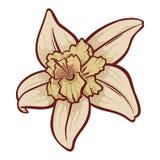 Waniliowy kwiat Zdjęcie Royalty Free