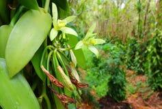 Waniliowy kwiat na plantaci Zdjęcia Royalty Free