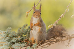 Wanna kiss me. Close up of  red squirrel  on   branches looking at the viewer Stock Image