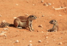 Wanna play?. Photo of two squirrels wanting to play under the hot desert sun in Namibie Royalty Free Stock Photos