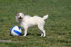 Wanna Play with me?. Little terrier and his soccer ball Royalty Free Stock Image