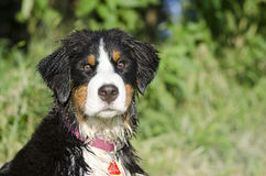 A Bernese Mountain Dog is wet from the lake. A wet Bernese Mountain Dog puppy is ready to go Royalty Free Stock Photos