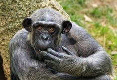 Wanne, Schimpanse Stockfoto