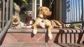 Wanneer de honden de omhoog zon doorweken Royalty-vrije Stock Afbeelding