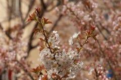 Wanneer de kersenbloesems in volledige bloei zijn Royalty-vrije Stock Fotografie
