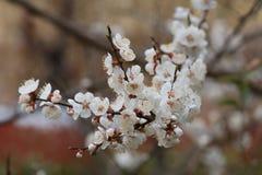 Wanneer de kersenbloesems in volledige bloei zijn Royalty-vrije Stock Afbeelding