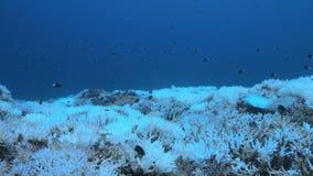 Wanneer een koraalrif sterft stock footage