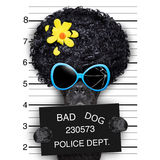 Wanted hippie dog. Mugshot of hippie wanted dog royalty free stock photography