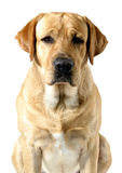 Wanted labrador. Portrait of labrador retriever on white Royalty Free Stock Image