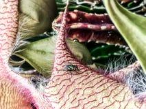 Wanze auf einem Blumenblatt von Carrion Flower Stapelia Blossom stockfoto