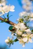Wanze auf einer Kirschblüte Lizenzfreie Stockfotografie
