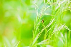 Wanze auf Gras Lizenzfreies Stockbild