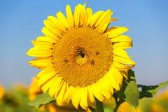 Wanzen und Bienen auf einer Sonnenblume Stockbilder