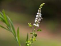 Wanzenkraut: Weiße Blüte und Biene Stockfotos
