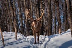 Wapitíes que caminan la madera en invierno Fotografía de archivo libre de regalías