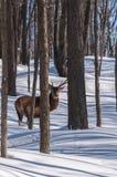 Wapitíes que caminan la madera en invierno Fotografía de archivo