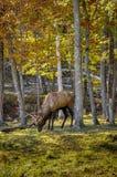 Wapitíes que disfrutan de un día agradable del otoño en Quebec, Canadá 2/2 Foto de archivo libre de regalías
