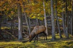 Wapitíes que disfrutan de un día agradable del otoño en Quebec, Canadá Imagenes de archivo