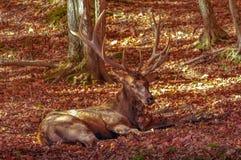 Wapitíes que permanecen bajos en otoño Foto de archivo libre de regalías
