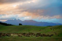 Wapitíes que se enfrían en hierba durante la puesta del sol foto de archivo