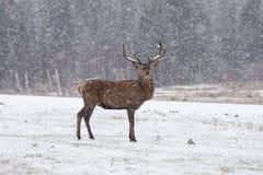 Wapitíes solitarios en una tormenta de la nieve Imagenes de archivo