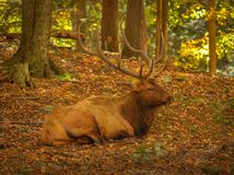 Wapiti που αποφεύγει τους κυνηγούς Στοκ Φωτογραφίες