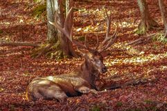 Wapiti που μένει χαμηλό το φθινόπωρο Στοκ φωτογραφία με δικαίωμα ελεύθερης χρήσης