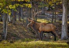 Wapiti στο ωμέγα πάρκο στο Κεμπέκ, Καναδάς Στοκ φωτογραφία με δικαίωμα ελεύθερης χρήσης