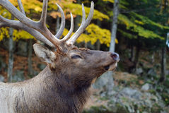 Wapiti. Close-up portrait a a Wapiti in the Autumn season Royalty Free Stock Images