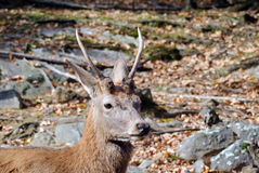 Wapiti Royalty Free Stock Photography