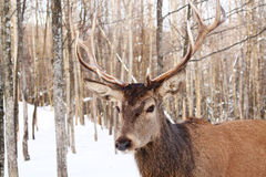 Wapiti Stock Photography