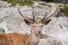 Wapiti bull Stock Photo