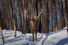 Wapiti chodzi drewno w zimie Fotografia Royalty Free