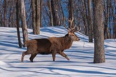 Wapiti chodzi drewno w zimie Zdjęcia Royalty Free