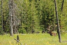 Wapiti Deer Stock Photos