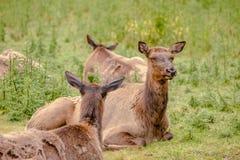 Wapiti deer herd Royalty Free Stock Images