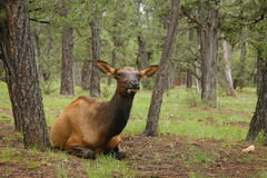 Wapiti Elk against in the Grand Canyon Royalty Free Stock Photos