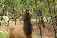 Wapiti Elk against in the Grand Canyon Stock Image