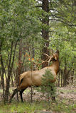 Wapiti Elk against in the Grand Canyon Royalty Free Stock Photo