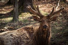 Wapiti ( Elk ) Buck Closeup in Early Spring Velvet Royalty Free Stock Photos