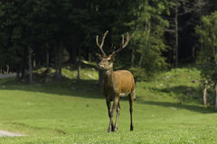 A Wapiti grazes on some grass. A wapiti in a forest environment grazing on some grass Stock Photo