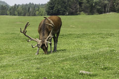 A Wapiti grazes on some grass. A wapiti in a forest environment grazing on some grass Stock Photos
