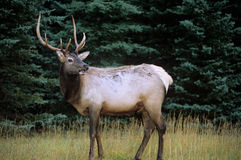 Wapiti / Great Male Elk, Canadian Rockies. Seen in a forest, Jasper National Park Stock Image