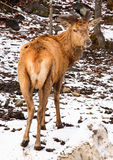 Wapiti Looking Back Stock Images