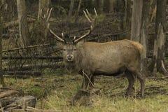Wapiti maschii in un ambiente della foresta Immagini Stock